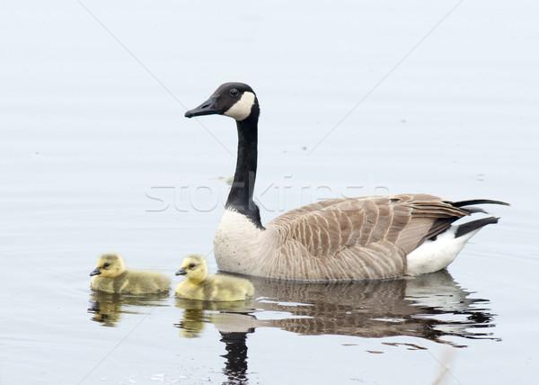 Canada gans vergadering water gras vogel Stockfoto © brm1949
