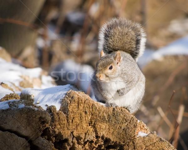 Winter Grey Squirrel Stock photo © brm1949