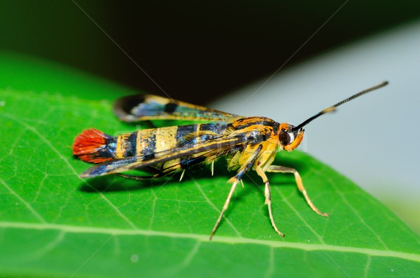 Clearwing Wasp Mimic Moth Stock photo © brm1949