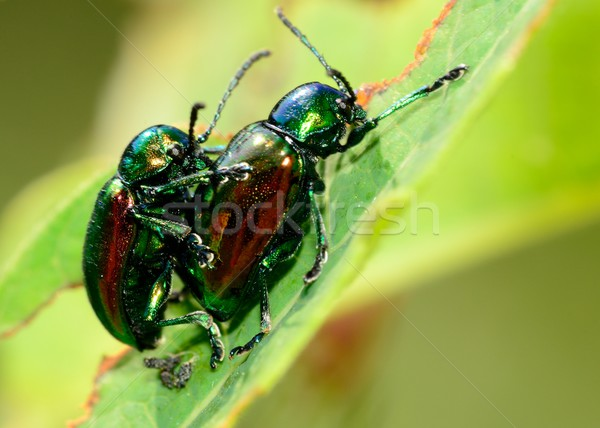 Mating Dogbane Beetles  Stock photo © brm1949
