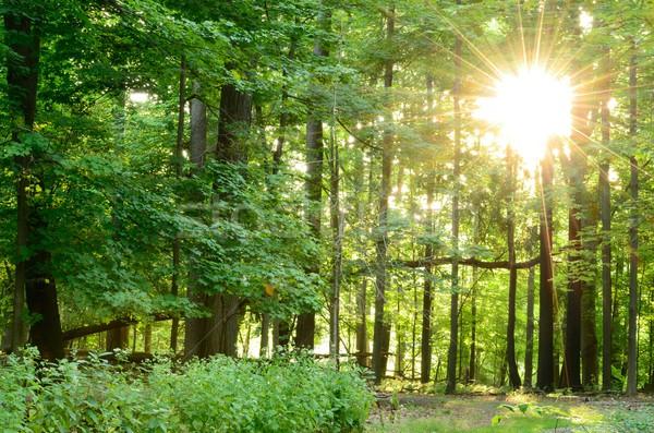 Woodland Sunrise Stock photo © brm1949