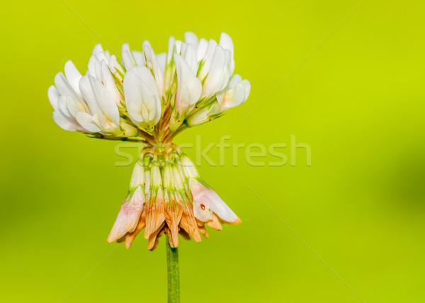 Clover Flower  Stock photo © brm1949