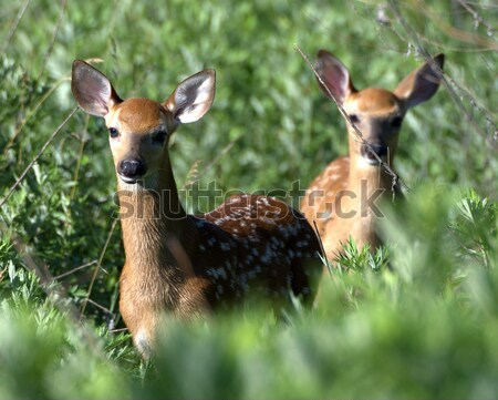 Two Whitetail Deer fawns Stock photo © brm1949