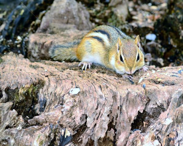 çizgili sincap oturma ağaç doğa yeme sevimli Stok fotoğraf © brm1949