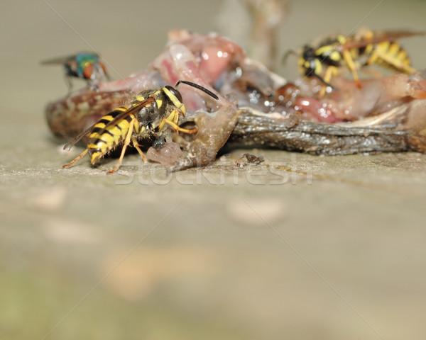 Yellowjacket Wasp Stock photo © brm1949