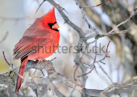 Cardinal On A Branch Stock photo © brm1949