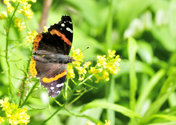 Red Admiral Butterfly Stock photo © brm1949