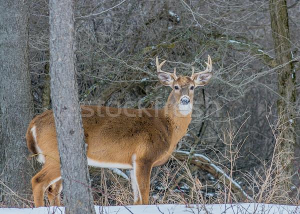 鹿 バック 立って 森 冬 雪 ストックフォト © brm1949