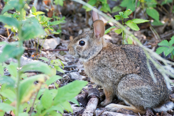 Cottontail Rabbit On A Path Stock photo © brm1949