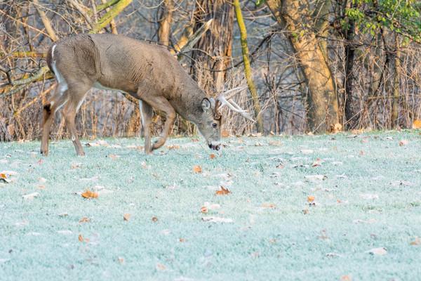鹿 バック 立って フィールド 自然 トロフィー ストックフォト © brm1949