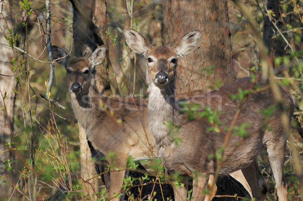 Whitetail Deer Doe And Yearling Stock photo © brm1949