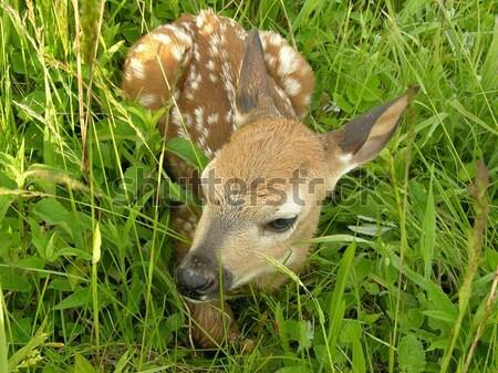 Herten reekalf baby zomer Stockfoto © brm1949