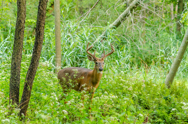 Stock photo: Whitetail Deer Buck In Velvet