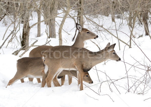 Whitetail Deer Yearlings And Doe Stock photo © brm1949