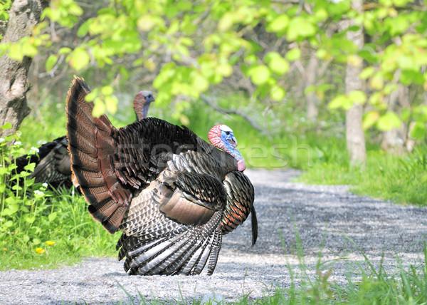 Wild Turkey (Meleagris gallopavo) Stock photo © brm1949