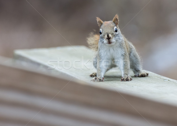 Red Squirrel Perched Stock photo © brm1949