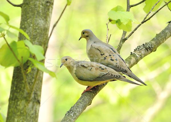 Lutto coppia natura uccello Foto d'archivio © brm1949