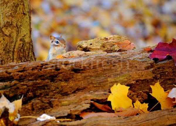 Chipmunk sessão atrás outono cores natureza Foto stock © brm1949
