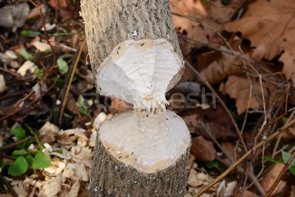 Castor dommage arbre vers le bas peuvent Photo stock © brm1949