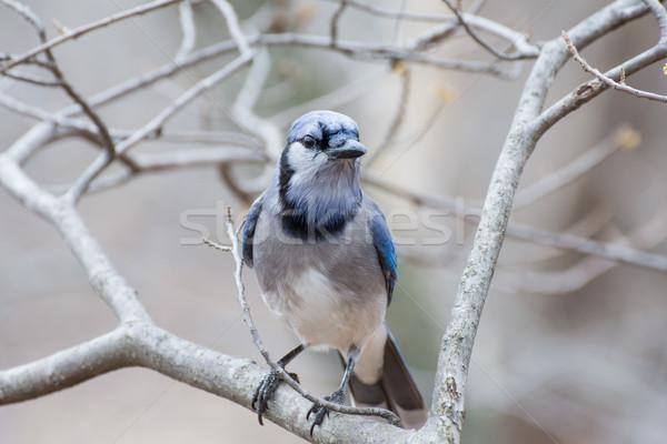 Bleu oiseau animaux bois branche Photo stock © brm1949