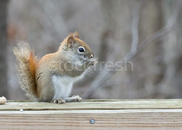 Rouge écureuil bois clôture Photo stock © brm1949