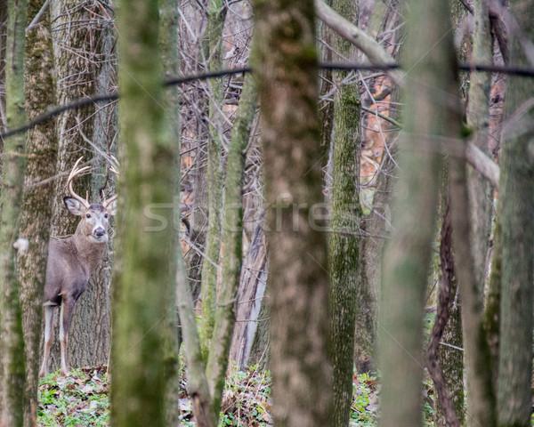 оленей доллар Постоянный области природы трофей Сток-фото © brm1949