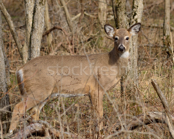 Whitetail Dee Doe Stock photo © brm1949