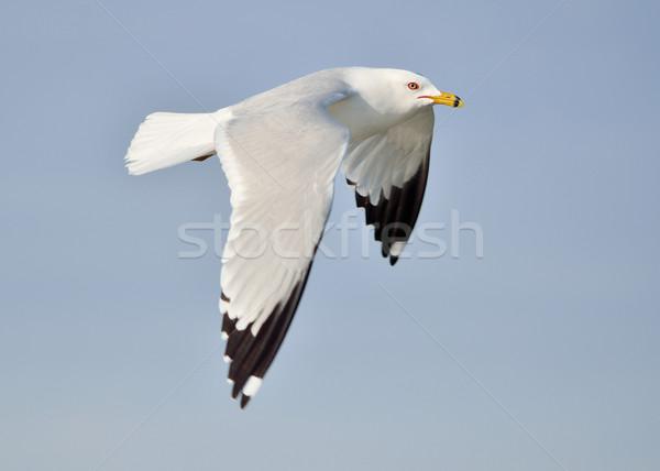 Mouette vol ciel bleu oiseau animaux battant Photo stock © brm1949