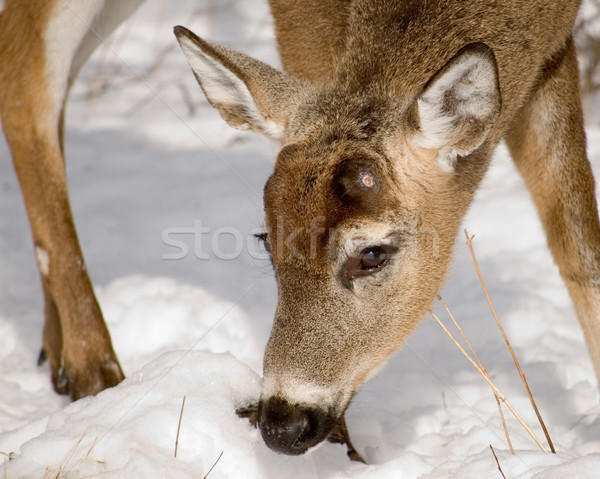 оленей доллар лесу зима снега Сток-фото © brm1949