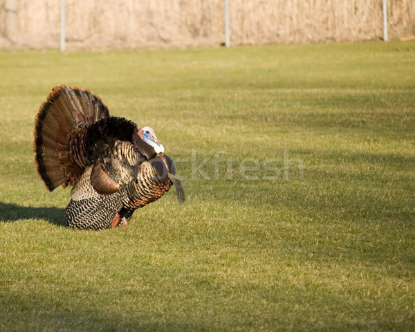 Wild Turkey Strutting Stock photo © brm1949