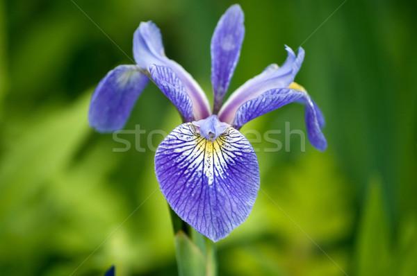 アイリス 弟 紫色 桜 花 ストックフォト © brm1949