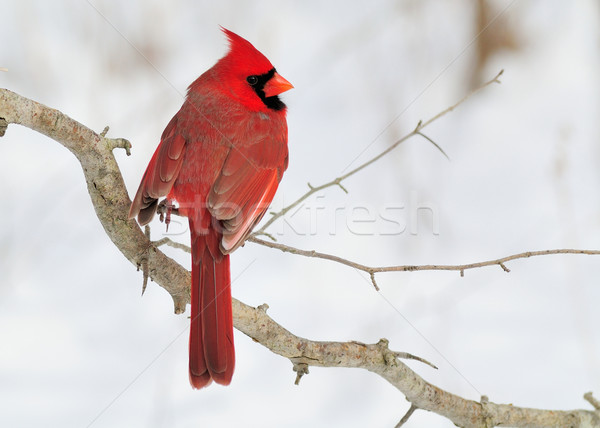 Male Cardinal Stock photo © brm1949