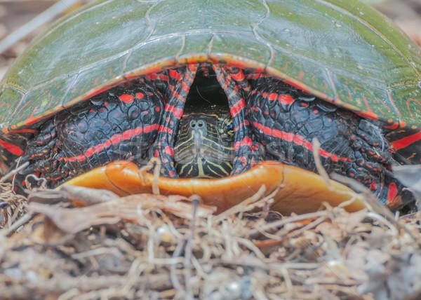 Festett teknős közelkép fej lövés állat Stock fotó © brm1949