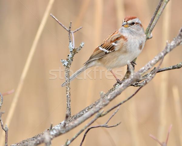 Wróbel drzewo ptaków zwierząt Zdjęcia stock © brm1949