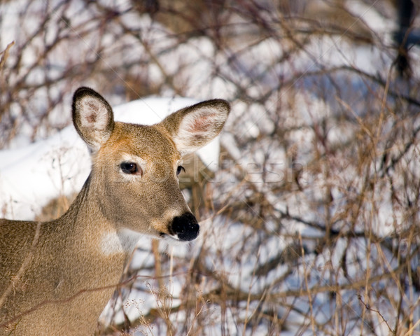 Winter Whitetail Doe Stock photo © brm1949