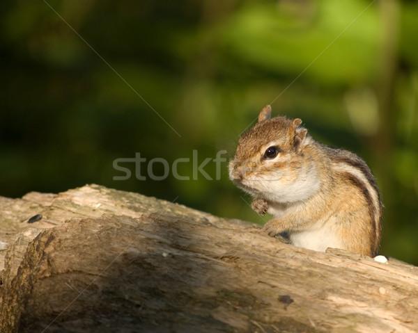 Chipmunk comida bochechas primavera floresta Foto stock © brm1949