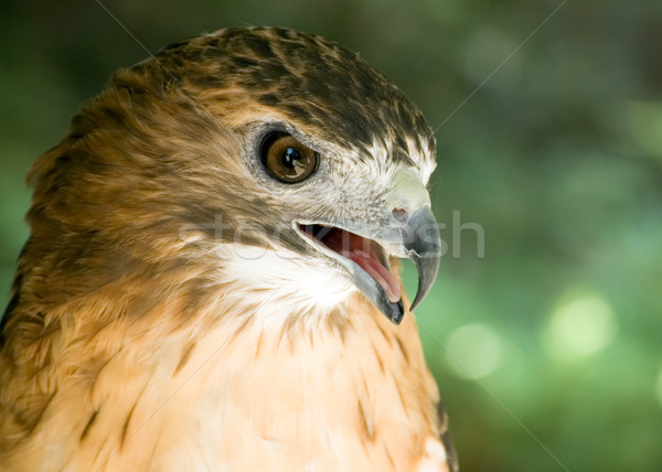 Red-tail Hawk Stock photo © brm1949