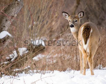 Whitetail Deer Yearling With Doe Stock photo © brm1949