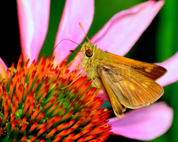 Skipper Butterfly Stock photo © brm1949