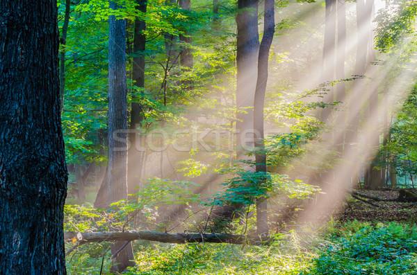 Rano świetle promienie lesie lasu Zdjęcia stock © brm1949