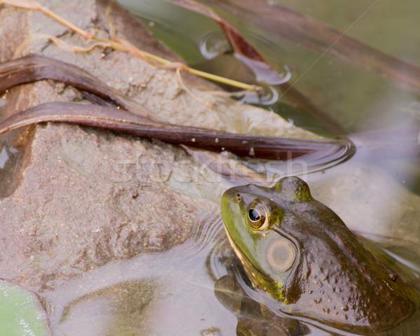 пруд лет сидят воды болото лягушка Сток-фото © brm1949