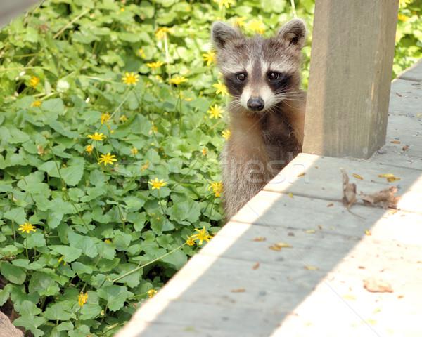 Wasbeer jonge naar natuur parcours wildlife Stockfoto © brm1949