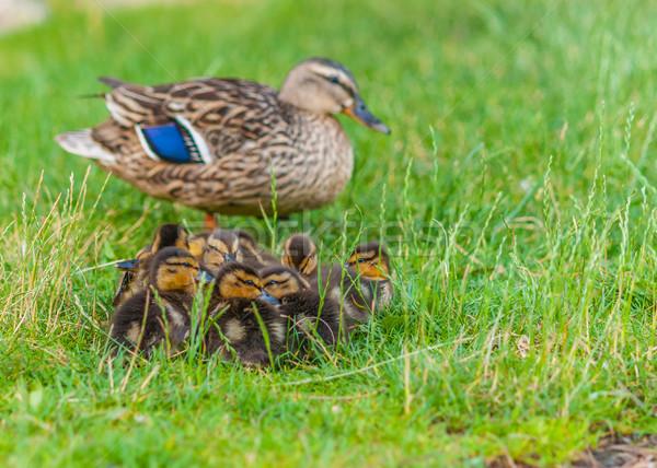 Oturma anne yeşil ot aile kuş hayvan Stok fotoğraf © brm1949