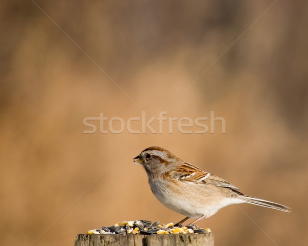 American Tree Sparrow Stock photo © brm1949