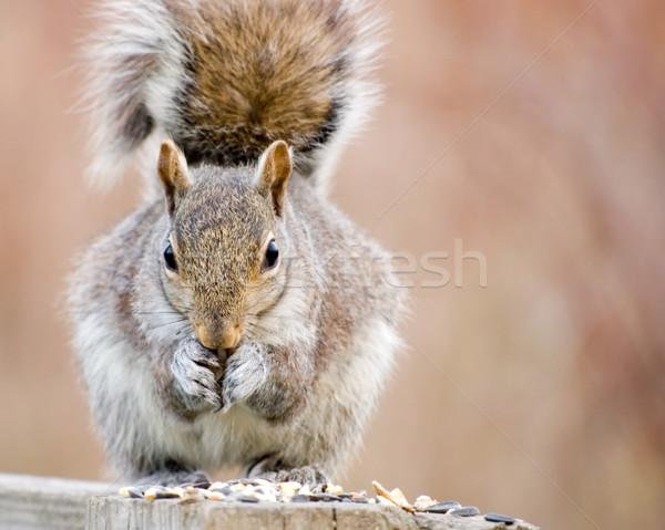 Gray Squirrel Stock photo © brm1949
