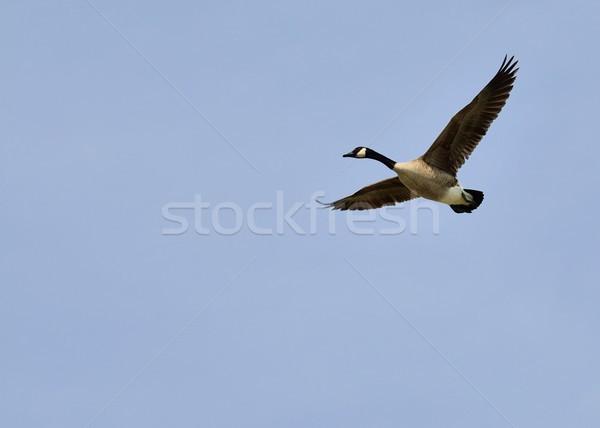 Canada Goose In Flight Stock photo © brm1949