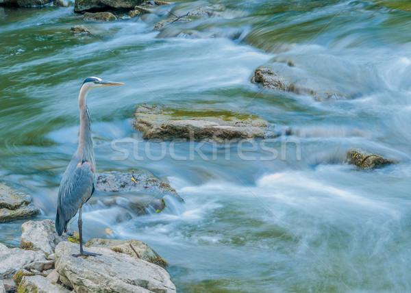 Nagyszerű kék kócsag halászat étel patak Stock fotó © brm1949