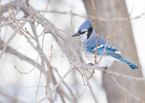 Azul natureza pássaro animal mata Foto stock © brm1949