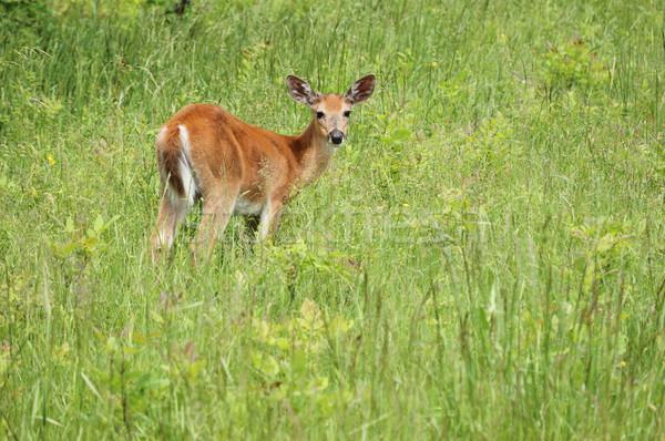 Whitetail Deer Button Buck Stock photo © brm1949