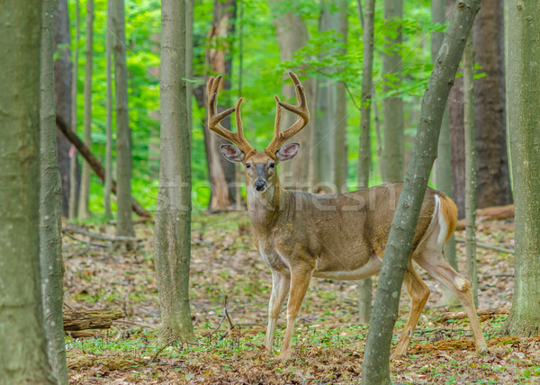 Whitetail Deer Buck In Velvet Stock photo © brm1949